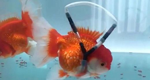Любитель рыбок создал для своего питомца «инвалидную коляску»