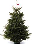 Nordictrees Пихта Нордмана Premium Extra 3.5 - 4 м