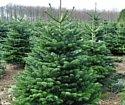 Nordictrees Пихта Нордмана Premium Extra 2 - 2.25 м