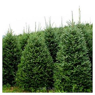 Фотографии Nordictrees Пихта Нордмана Premium Extra 2 - 2.25 м
